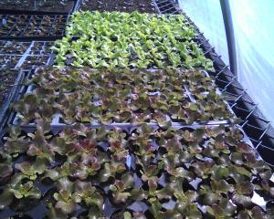 lettuces_04-29