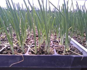onions04-29