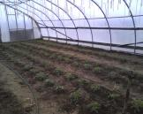 Tomatoes planted in hoophouse
