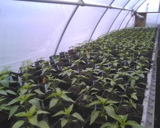 Potted peppers in greenhouse