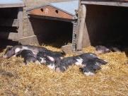 Pigs sunning