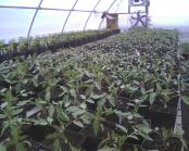 Potted tomatoes in greenhouse