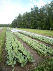 Brassica beds