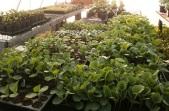 Cucurbits in the greenhouse