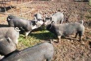 Pigs enjoying a grass treat