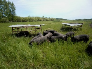 Pigs on grass with shades
