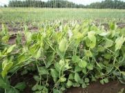Snap pea plants