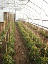 Tomatoes trellised in hoophouse
