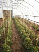Tomatoes trellised in hoophouse