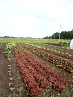Colorful Lettuces