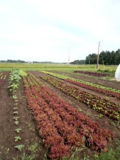 Colorful Lettuces
