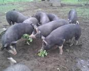 Pigs With Veggies