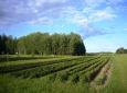 potato field from west