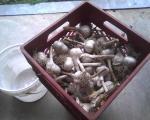 GarlicForPlanting