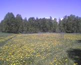 The honeybees have surely enjoyed all the dandelions.