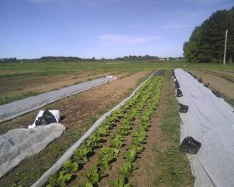 The Napa cabbage is doing all right. So is the grass between beds. :-(