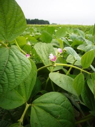 Beans flowering