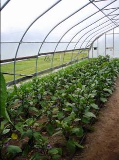 Eggplant rows