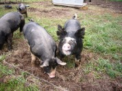 Favorite Pig