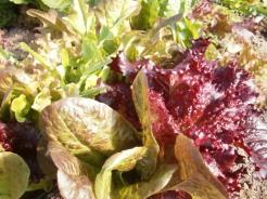 Lettuce mix glamour shot