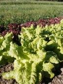 Lettuces ready