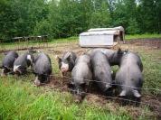 Piggies at fence