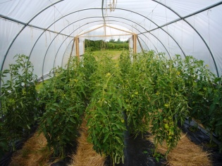 Tomatoes in Baby Hoophouse