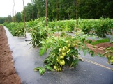 Field tomatoes