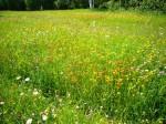 WildflowersFieldE