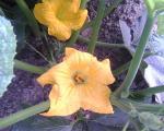 HoneyBeeSquashBlossom