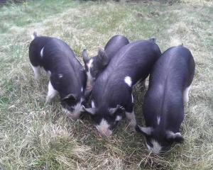 PigCluster