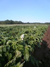 potatoflowers
