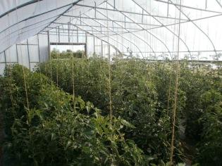 tomatoeshoophouse