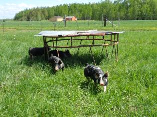 Pigs on pasture this week, fun.