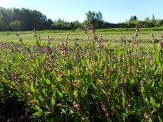 sage flowering