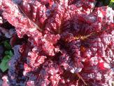 Hyper Red Rumple Lettuce