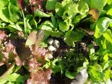 Kildeer nest in lettuce mix