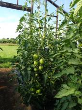 Tomatoes sizing up in hoophouse