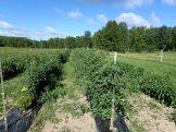 Tomatoes, trellised