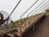 Garlic drying in greenhouse