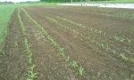 CornFirstPlanting