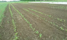 Corn first planting