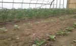 TomatoesEggplantHoophouse