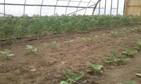 Eggplant and tomatoes in hoophouse