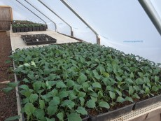 Brassica starts