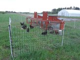 The chickens fertilizing an area I'll plant into next year.