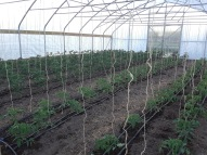 Both plantings of tomatoes are in the ground in the hoophouse.