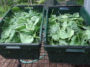 First spinach harvest for market.