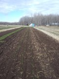 Onions after transplanting