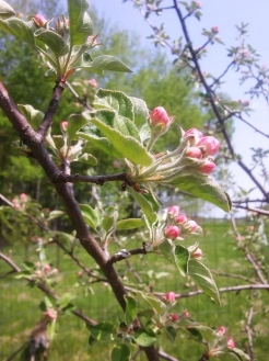 Blossoms in orchard